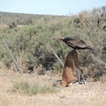 le festin du vautour