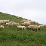 moutons à corne double