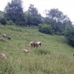 Cochons et chevaux