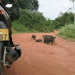 la famille cochon en vadrouille