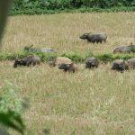 troupeau de buffles