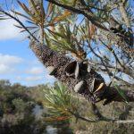Banksia après floraison