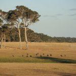 émeus et kangourous