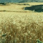 les blés ondulent