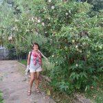 arbre à coton